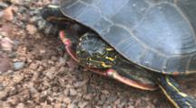Painted Turtle In Nest Hole, Digging With Back Feet