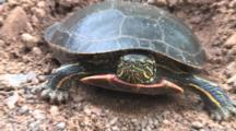 Close Up Painted Turtle, Zoom Out To Nest Hole