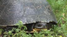 Blanding's Turtle Hidden In Shell, Moves Eyes