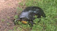 Blanding's Turtle, Full View, Frontal, Quartering