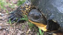 Blanding's Turtle, Claws, Insect On Face, Moves Eye
