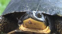 Blanding's Turtle, Close In, Face
