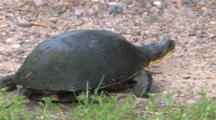 Blanding's Turtle, Quartering Away, Walking Through Grass, Stops, Lays Down