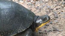 Blanding's Turtle, Side View, Turns, Looks Toward Camera