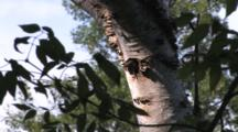 Northern Flicker Chick In Birch Tree Nest, Parent Enters, Feeds, Exits