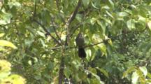 Gray Catbird In Birch Tree, Playing With Nesting Material