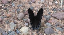 Mourning Cloak Butterfly, Sitting On Ground, Folding Wings Back And Forth