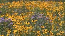Asters, Brown Eyed Susans, Wildflower Field
