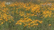 Brown Eyed Susans, Asters, Daisies, Wildflower Field