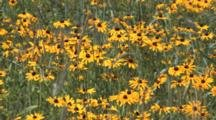 Brown Eyed Susans, Wildflower Field