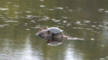 Spiny Softshell Turtle, On Rock In River