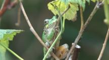 Grey Tree Frog On Raspberry Cane, Looking Towards Camera, Blinks Eyes