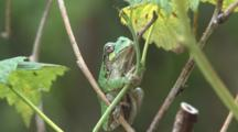Grey Tree Frog On Raspberry Cane, Hunting Insects