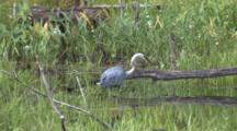 Great Blue Heron Catches Prey, Eats, Dips Beak