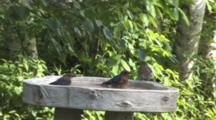 Male Eastern Bluebird In Bath, Joined By Female, Fledgling, Spray Water, Flap