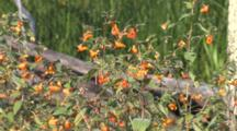 Jewelweed In Marsh Habitat