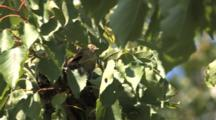 Goldfinch Chick In Windy Nest, Stretching