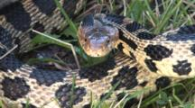 Western Fox Snake, Coiling, Hissing