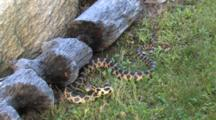 Western Fox Snake, Coiled Against Beaver Chewed Log, Mimic Rattle Tail