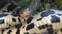Western Fox Snake, Coiled, Prepared To Srike