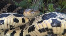 Western Fox Snake, Coiled, Prepared To Srike, Moves Eyes And Head