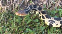 Western Fox Snake, Head, Moving Sideways Through Frame