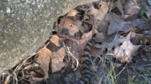 Western Fox Snake, Tail Mimic Rattlesnake, Rattling In Dead Leaves
