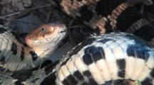 Western Fox Snake, Coiled, Strikes Out, Close Up