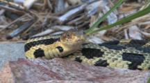 Western Fox Snake Behind Rock