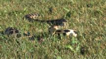 Western Fox Snake In Short Grass, Tail Mimic Rattle, Flicking Tongue