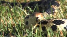 Western Fox Snake, Close Up Face, Body Fades Out Behind