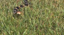 Enter Western Fox Snake Sneaking Through Short Grass To Camera