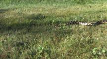 Western Fox Snake Sliding Through Dappled Sunlight