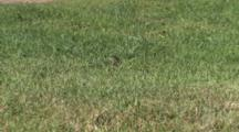 Western Fox Snake Sliding Through Short Grass, Almost Invisible