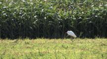 Cattle Egret Standing, Resting, In High Wind By Cornfield