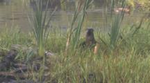 After Being Chased, Otters Groom And Console, Beavers Patrol In Bground