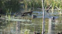 Otter Surface In Pond, Swim In Circle, Continue, Dive, Feeding