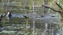Otters Feeding In Pond, One Checks For Danger, Duck Leaves Area