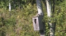 Northern Flickers Looking In Wood Duck House