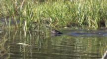 Otters Gliding Through Frame, Feeding In Pond