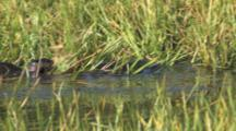 Otters Feeding In Pond, Chasing Prey Through Grass And Reeds