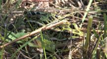 Northern Leopard Frog, Moving Feet In Grass