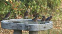 Five Bluebirds In Bath, Coming & Going, One Removes Leaf From Bath