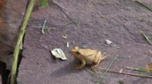 Northern Spring Peeper On Rock, Wipes Grass Off Face, Exits, Leaves Wet Spot