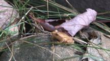 Northern Spring Peeper On Rock