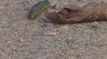 Bedstraw Hawkmoth Larvae, Searching For Winter Burrow, Looks Under Dried Leaf