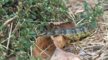 Bedstraw Hawkmoth Larvae, Searching For Winter Burrow