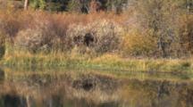 Shiras Moose Cow, Feeding By River