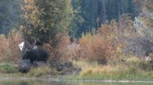 Shiras Bull Moose Walks Down To River To Drink