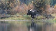 Shiras Bull Moose, Drinking From River, Picks Up Head, Turns